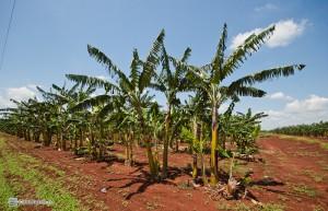 Вот так растут бананы