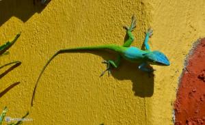 Хамелион в касе г.Тринидад